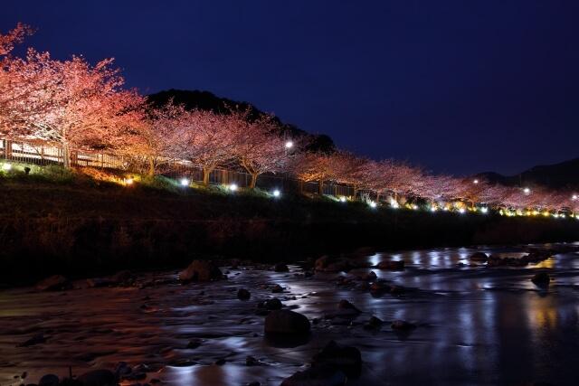 河津桜ライトアップ 時間 場所