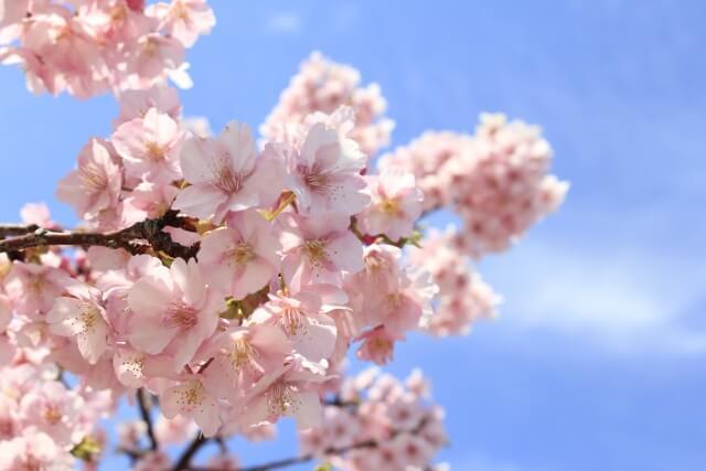 河津桜 開花予想 開花状況 見頃 2020